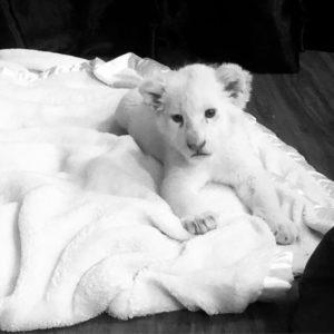 Runtown white lion