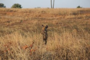 You should be able to see hyenas at the Mokolodi Nature Reserve.