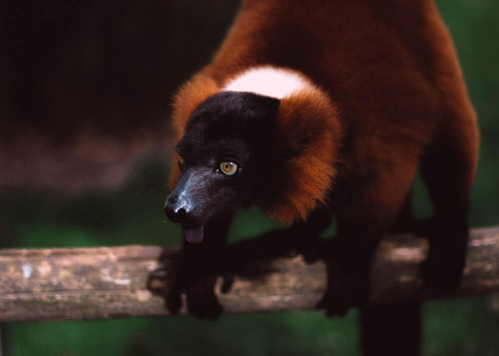 The red-ruffed lemur makes the forests of the Masoala National Park it's home.
